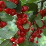 rotefrüchte