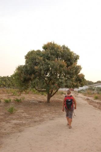 Cashew Baum