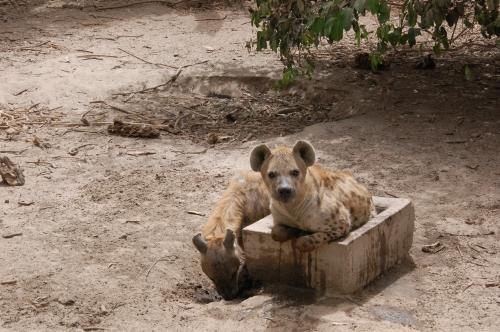 neugiereige Hyäne