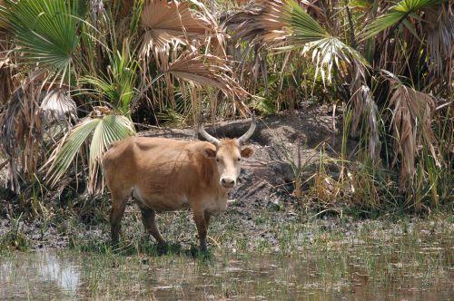 Kuh im Reisfeld