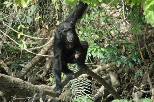 Schimpansen Baboon Island