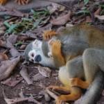 Affen am spielen