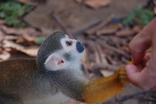 Kleiner Affe andächtig schauend