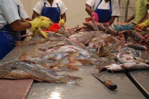 Fischbearbeitung