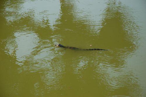 Kaiman schwimmend