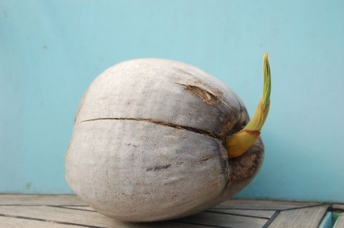 Kokosnuss Sprößling