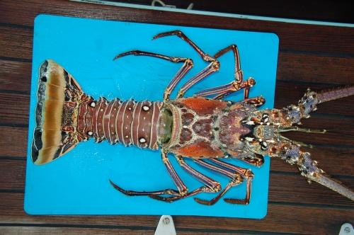 Lobster von oben