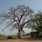 Gambia Affenbrotbaum