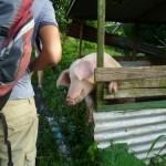 Das Hausschwein