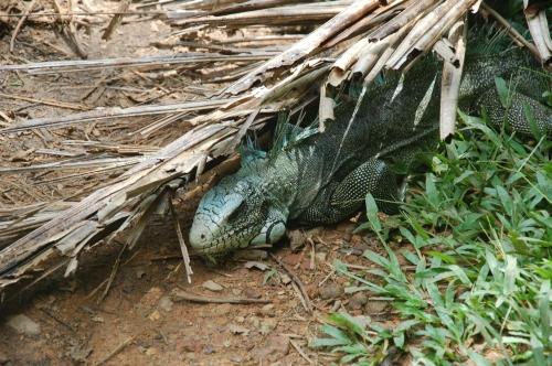 Franz guayana Iguana