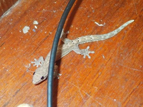 Gecko an Bord Sadler 32